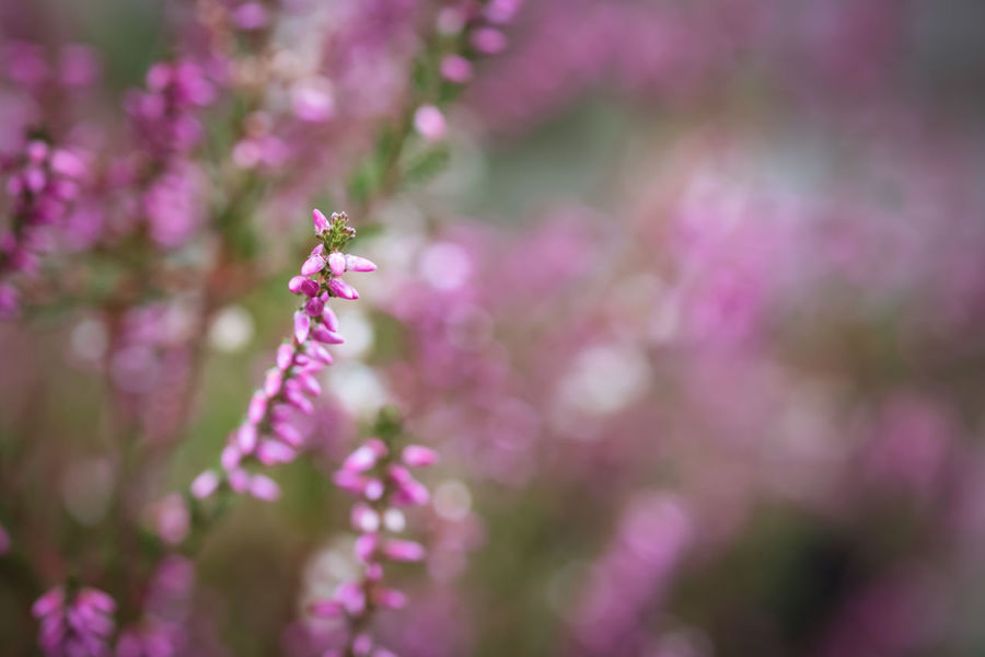Beauty In Nature Bokeh Bokeh Photography Bokehlicious Flower Flowering Plant Plant Freshness Fragility Vulnerability  Growth Close-up Petal Selective Focus Nature Pink Color No People Day Purple Outdoors Flower Head Springtime Plant Stem Flowering Plant Room For Text