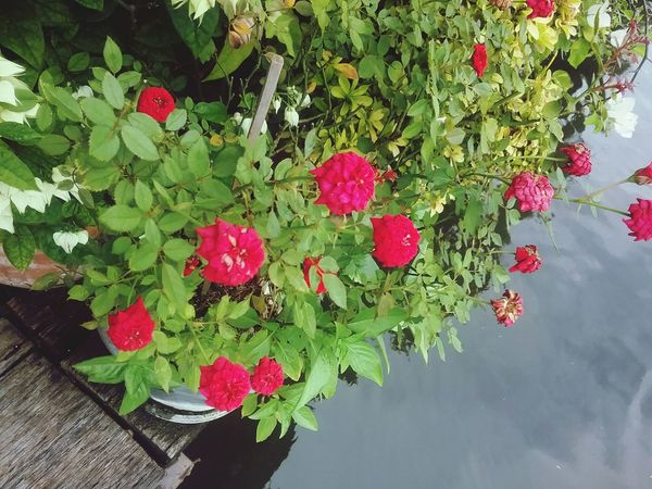 rose Flower Green Color Plant Freshness Beauty In Nature