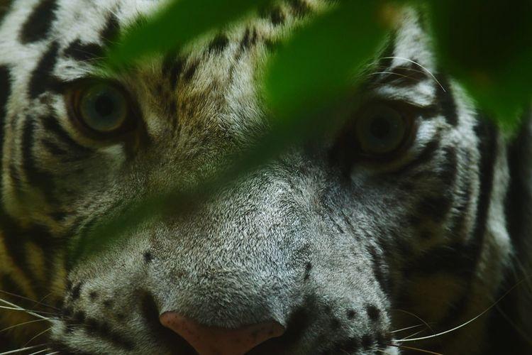 Close-up portrait of white tiger