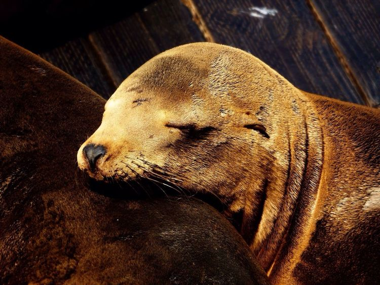 Wildlife Seals Sanfrancisco Pier39 California Beauty Sleeping Beauty Road Trip Animals Nature The Great Outdoors - 2016 EyeEm Awards