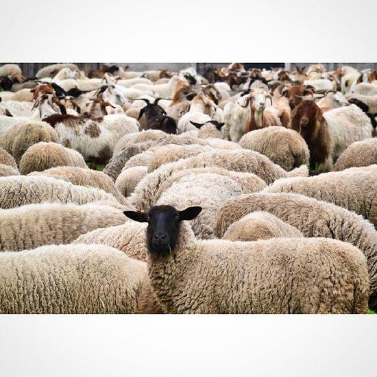 """""""...una me da leche la otra me da lana"""" ? ??? Hace un tiempo pasaron estas cientas ovejas por aquí. Algunas muy tímidas y otras como la que quedó mirando fija a la cámara. Fotografoschile Fotografia_chilena Nikon_photography_ Animalsaddict sheep ovejas Molina Curico ig_chile ig_chilelindo vscochile vscostgo vscocam Ig_worldclub worldclassshots animalexperience loves_chile loves_Americas Chileesbello Chile_Natural chile_360 ChileEsTuyo Tier Чили Америка"""