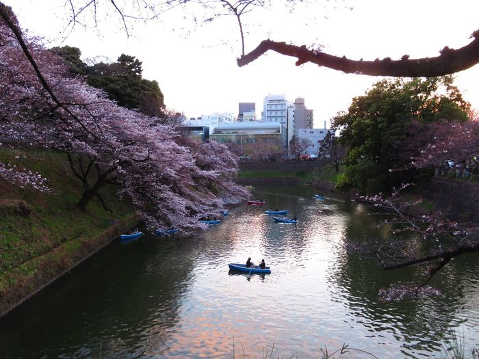 No Filter No Edit Cherry Blossoms Tokyo, Japan Beauty on the river in Chiyoda park. Sunset Water Waterfront Beauty In Nature City River EyeEmNewHere EyeEmNewHere EyeEmNewHere
