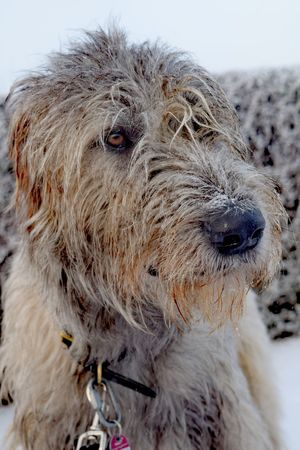 One Animal Domestic Animals Outdoors Animals In The Wild Cold Outside ❄⛄  Cold Outside ❄⛄  First Touch Of Winter Winter Is Coming... The Places ı've Been Today How's The Weather Today? Showcase December It Is Cold Outside How's The Weather Today December 2016 Autumn 2016 Looking At Camera Dog Of The Day Portrait Irish Wolfhound Dogslife Dogs Of EyeEm Cearnaigh Bokeh Dogwalk Cold Temperature