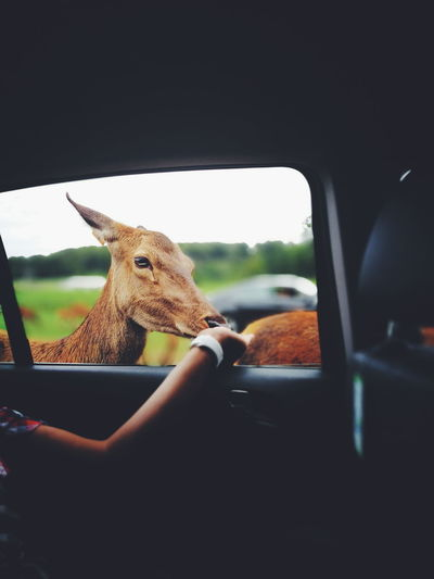 Feeding deers at the longleat safari park Animal Themes One Animal Window Close-up Animal Head  Animals In The Wild Focus On Foreground Zoology Day Animal Animal Behavior Feeding animals Feeding Deers First Eyeem Photo