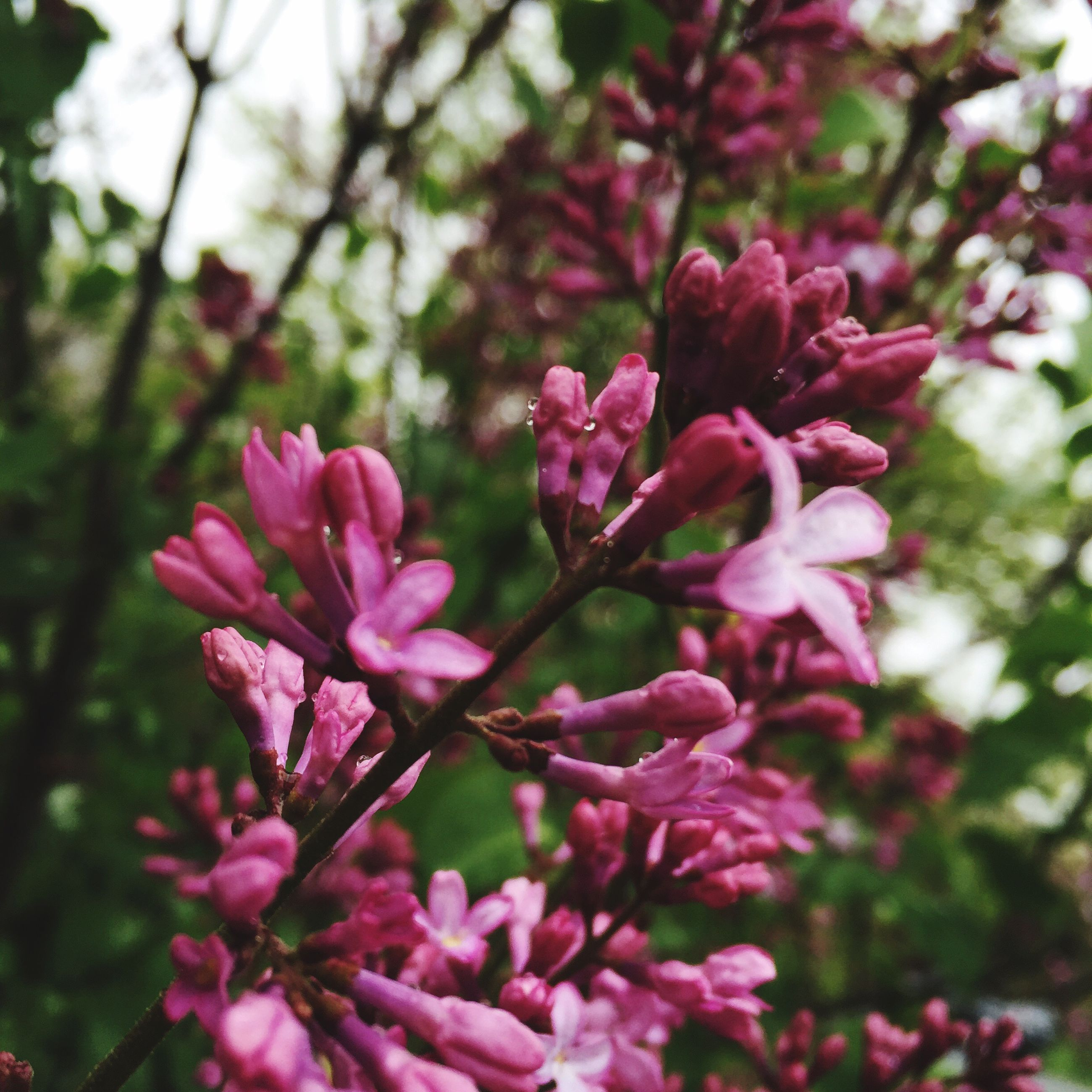 flower, pink color, freshness, growth, fragility, focus on foreground, beauty in nature, petal, close-up, nature, pink, blooming, plant, flower head, tree, day, branch, outdoors, park - man made space, blossom