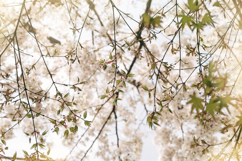 Plant Growth Beauty In Nature Day Nature Flower Branch Tree Flowering Plant No People White Color Low Angle View Fragility Close-up Vulnerability  Freshness Outdoors Blossom Tranquility Focus On Foreground