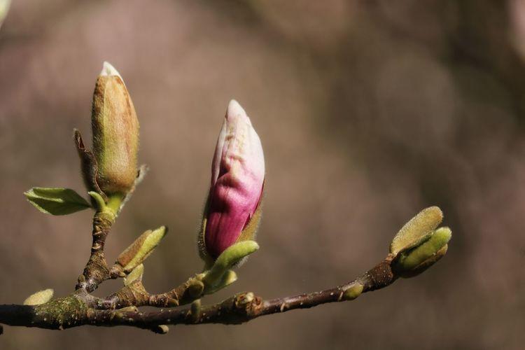 *Magnolienblüten* Magnolienblüten verleiten beim Wachen ins Träumen zu gleiten, Gedanken des Alltags zu meiden, sich einfach am Schönen zu weiden. Wie freut dich der Knospe Erfüllung nach nächtlich versteckter Enthüllung, Wie schmeichelt den Augen die Seide der Blüten im taufrischen Kleide. Magnolienblüten verleiten, Erinnern an fahlgrauen Zeiten durch Bilder vom Lenz zu ersetzen. Schau hin und du weißt es zu schätzen! (Ingo Baumgartner) Awakening Of Nature Beauty In Nature Every Flower Is A Soul Eye4nature Eye4photography  Flower Head Flowers For My Friends Flowers 🌸🌸🌸 Flowers, Nature And Beauty Fragility Freshness Growth In The Park Ladyphotographerofthemonth Magnolia Magnolia_Blossom Mittagspausenglück Nature On Your Doorstep Nature Photography Naturelovers New Life Poetry In Pictures Untamed Heart