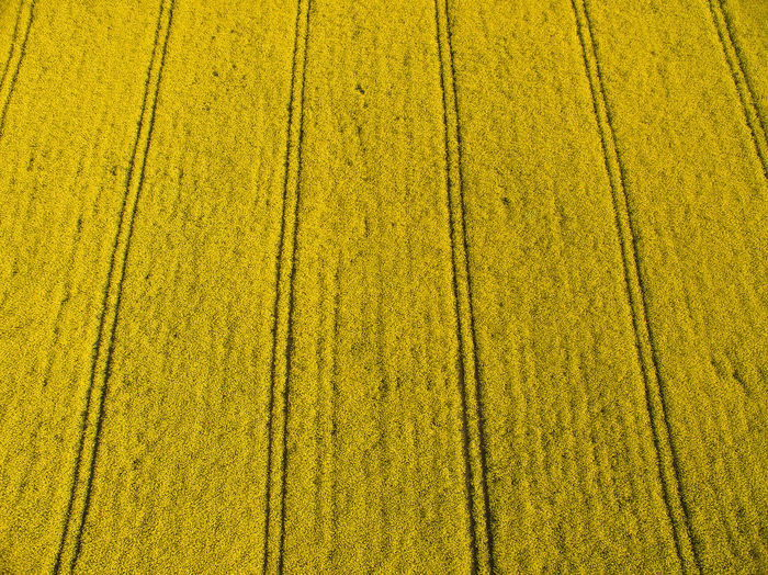 An aerial view over a field of rapeseed in the English countryside showing the tracks of a tractor amongst the crops Rural Scene Yellow Agriculture Field Backgrounds Growth Landscape Farm Green Color No People Day Beauty In Nature Land Crop  Environment Pattern Nature In A Row Outdoors Layered Rapeseed Aerial Rapeseed Field Aerial View Farming Tractor Tracks