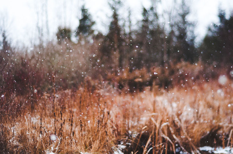 Snow Winter No People Cold Temperature Nature Plant Beauty In Nature Day Tranquility Outdoors Tree Land Snowing Environment Selective Focus Growth Focus On Foreground Grass Field Freelensing