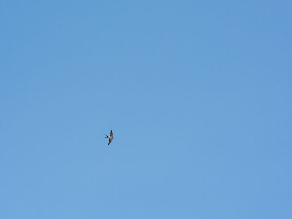 Hirondelle Naoshima 2016 Bird Photography Birds Of EyeEm  Animal Themes Animal Wildlife Animals In The Wild Bird Blue Clear Sky Copy Space Day Flying Low Angle View Mid-air Nature No People One Animal Outdoors Sky Spread Wings
