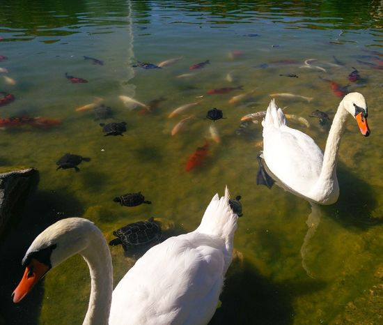 Animals In The Wild Water Animal Wildlife Animal Themes Swan No People Turtles Carpe Lake Nature Beauty In Nature Swimming Reflection Day Outdoors Close-up