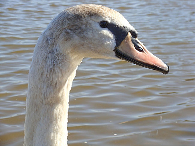 Animal Themes Animals In The Wild Bird Day Dresden Elbe Elbe River No People Outdoors Swan Swans