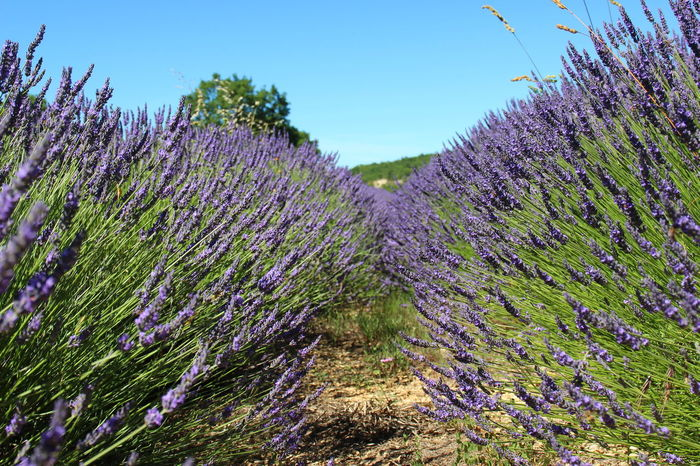 Lavender in Provence Purple Growth Nature Flower Beauty In Nature Freshness Plant No People Outdoors Fragility Lavender Scenics Day Agriculture Tree Lavender Colored Sky Close-up Lush - Description