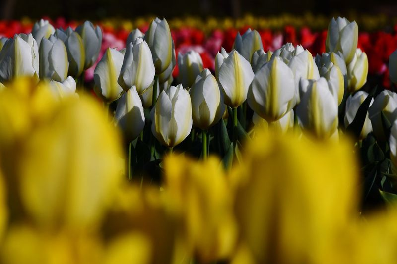Tulips Field EyeEm Flower EyeEm Best Shots EyeEm Best Shots - Flowers Eyeemphotography EyeEm Best Shots - Nature EyeEm Nature Lover White Colorful Tulips Flowers Tulips🌷 Tulips Plant Vulnerability  Fragility Flower Beauty In Nature Growth Flowering Plant Freshness Close-up Flower Head Selective Focus Focus On Foreground Day No People Petal Yellow Red My Best Photo