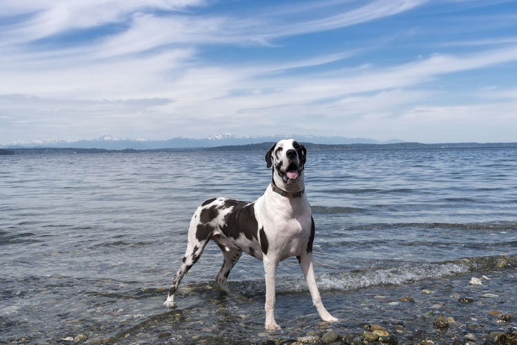 Handsome harlequin great dog posing in the water under wispy blue sky clouds near seattle.