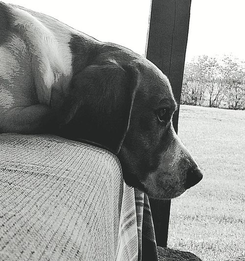 Beagle Beaglelovers Dog Blackandwhite Black And White Monochrome Dog Dogs Of EyeEm Dog Photography Sadness Sadness Dog Blackandwhite Black And White Dog Black And White Pets Dog Close-up