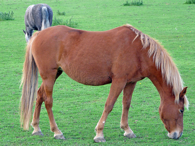 Beautiful horses Two Horses Grazing Horses Day Domestic Animals Horse Theme Pets Portrait Mammal Herbovirous Animal Theme Two Animals Two Horses In A Field Animals Theme Brown And Grey Horses Brown And Grey Equus Horse Photography  Premium Collection Premium Pet Photography
