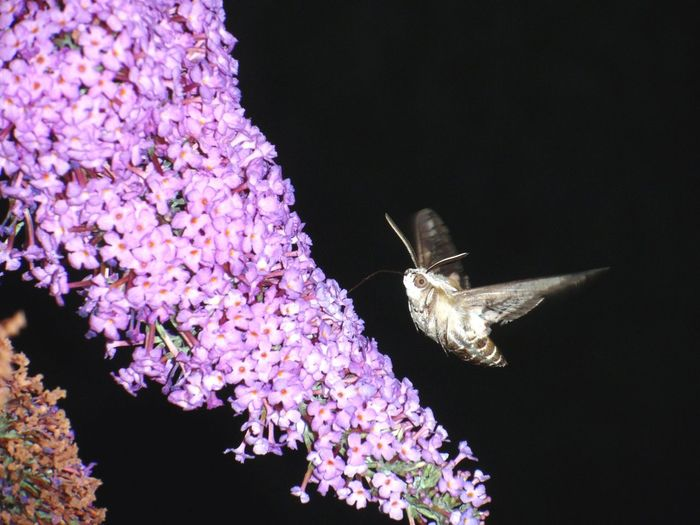 moths are the butterflies of the night :)MothsInsect Nature Beauty In Nature Butterfliesofthenight Flower Purple One Animal Animal Themes Animal Wildlife Fragility Animals In The Wild Animal Close-up Freshness No People Butterfly - Insect Night Pollination Outdoors Moth EyeEmNewHere