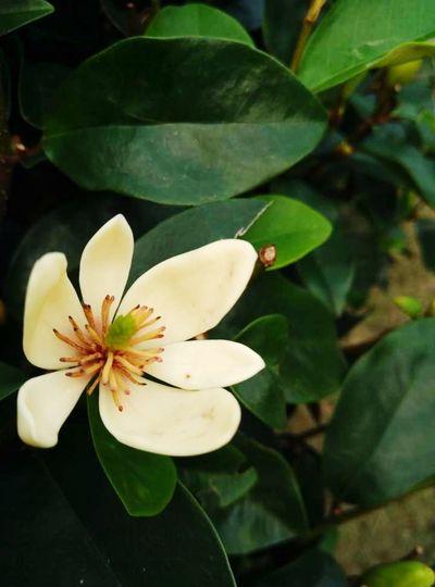 雪窦山摘的菩提花