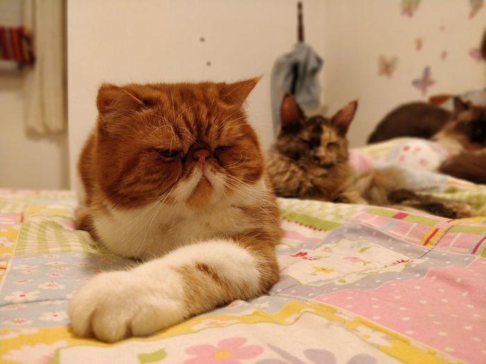 Pets Bedroom Domestic Cat Bed Feline Animal Themes Tabby Cat Tortoiseshell Cat Maine Coon Cat