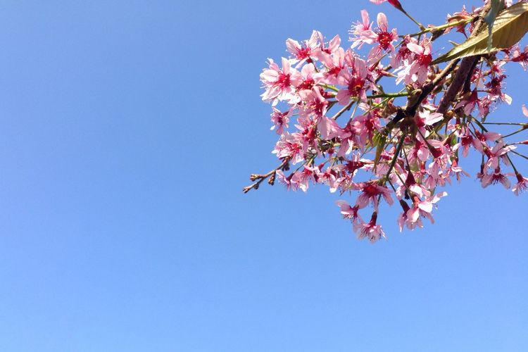 Low angle view of pink flowers against clear sky on sunny day