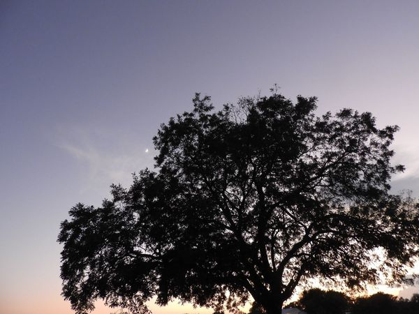 Tree silhouette and moon Tree Plant Sky Low Angle View Growth Silhouette No People Nature Beauty In Nature Outdoors Scenics - Nature Copy Space Clear Sky Dusk Treetop Tranquil Scene