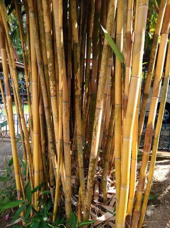 Many yellow bamboo Bamboo - Plant Bamboo Bamboo Grove Kyoto Grove Lemon Tree Orange Tree Hammock Drapes  Growth Wooden Raft Date Palm Tree