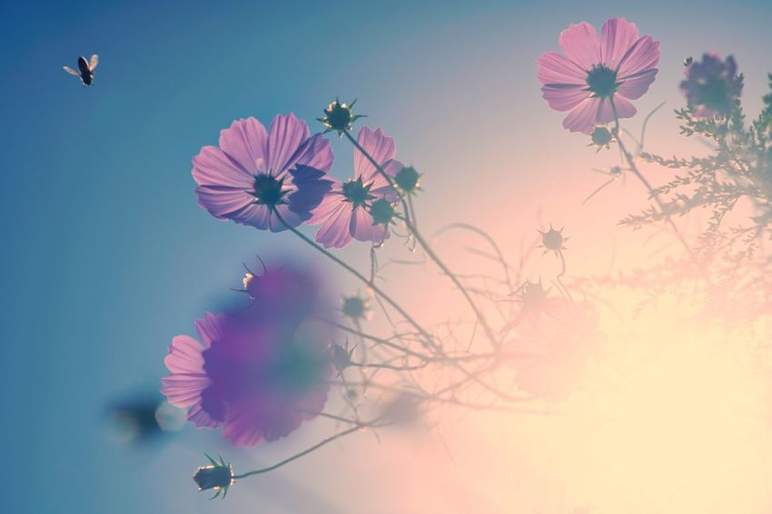 Uzuki Of The Flower Capture The Moment Shine On ✨ Sunlight Silhouette Fragility Cosmos Flower Multi Colored Flying Insect Beauty In Nature Pastel Colored Nature Fine Art Photography Getting Inspired Depth Of Field Snapshots Of Life Full Frame Detail Sony A7RII Oldlens Takumar EyeEm Best Shots 17_10 EyeEmNewHere