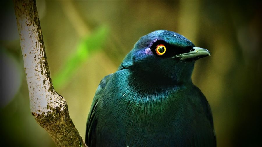 Purple Glossy Starling, Birds of Eden Animal Animal Eye Animal Themes Animal Wildlife Animals In The Wild Beak Beauty In Nature Bird Branch Close-up Day Focus On Foreground Looking Nature No People One Animal Outdoors Perching Plant Tree Vertebrate