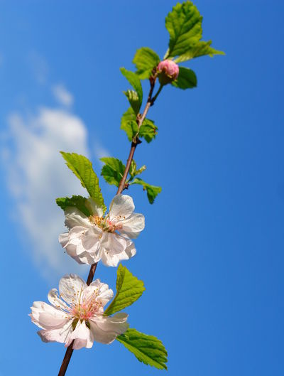 Against The Sky Almond Tree Almond Tree Blossom Beauty In Nature Blooming Blossoms  Branch Clear Sky Close-up Day Flower Flower Head Fragility Freshness Growth Low Angle View Nature No People Outdoors Pastel Colors Petal Sky Springtime Tree Twig