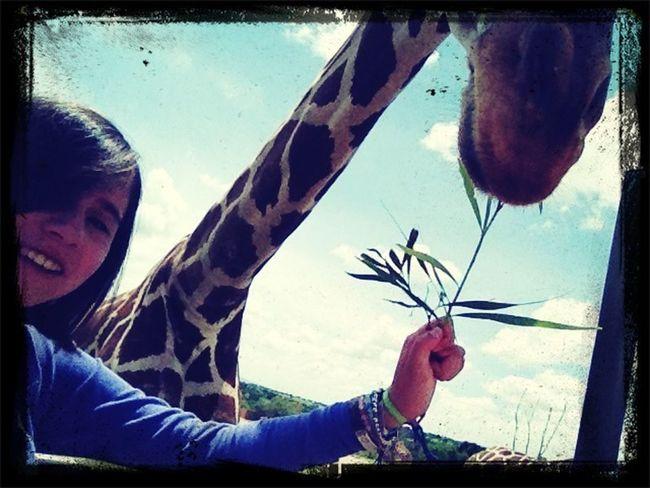Alimentando a las jirafas o k ace???