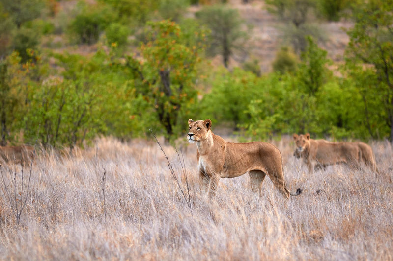 A lioness standing in the grass