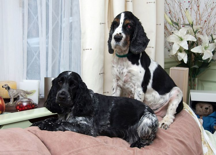 Gracie and Georgie Waiting EyeEmBestEdits Cutedog Cocker Spaniel  English Cocker Spaniel Cute Pets I Love My Dog Cockerspaniel