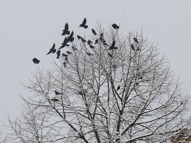 Jackdaws Animal Themes Animal Wildlife Animals In The Wild Bare Tree Beauty In Nature Bird Bird Of Prey Branch Clear Sky Day Flock Of Birds Flying Large Group Of Animals Low Angle View Nature No People Outdoors Sky Spread Wings Tree Wildlife