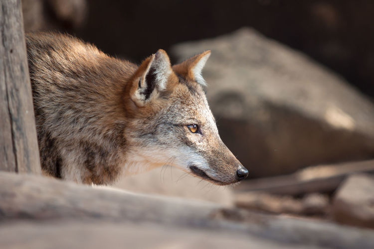 Animal Themes Animal Wildlife Animals In The Wild Close-up Day Fox Mammal Nature No People One Animal Outdoors