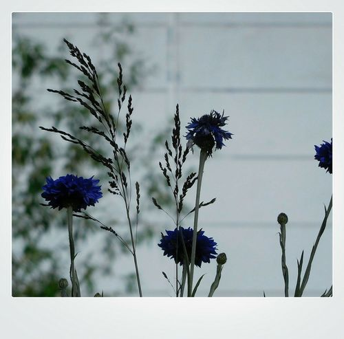Flower Growth Nature Plant Outdoors No People Day Beauty In Nature Fragility Close-up Sky Bleuets  Delicatesse