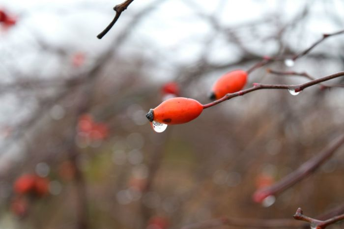 Red Fruit Food And Drink Focus On Foreground Winter Nature Beauty In Nature Branch Cold Temperature Freshness Berry Fruit Outdoors Winter 2017 It Is Cold Outside January 2017 Hagebutten Rowanberry Freshness Wintertime Beauty In Nature