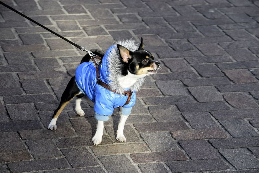 Don't call me cute...OK! Florence Italy Firenze The Best City In The World Angry Dog Winter Wear GRRRRRRR! Small Dog Small Dog Big Attitude Attitude Is Everything Do I Look Good In This Back Off Buddy! Dog One Animal Pets Animal Themes Domestic Animals Outdoors High Angle View Day Mammal Pet Clothing No People