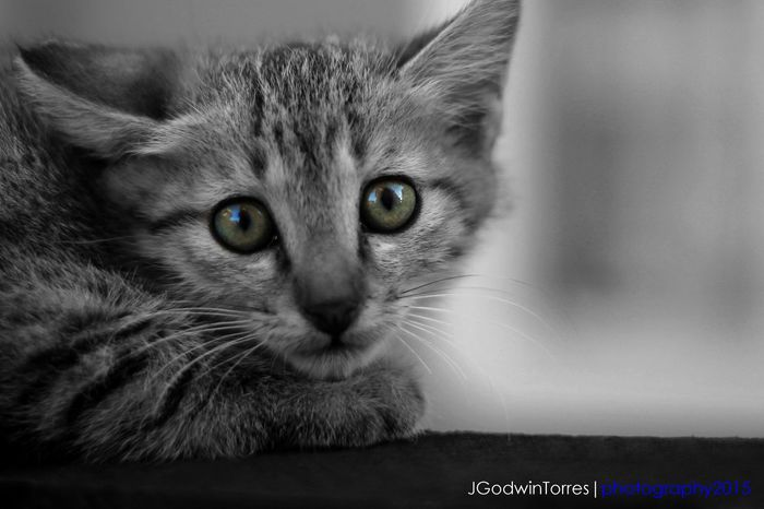 Sweet little kitten Bwphotography Jgodwintorres Bw Kitten Kittenphotography Animal Photography Playing With The Animals