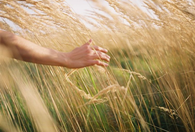 Close-up of hand touching wheat crops