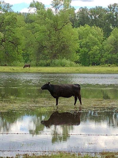 Reflections Cow Animal Animal Themes Water Mammal Plant Lake Animal Wildlife