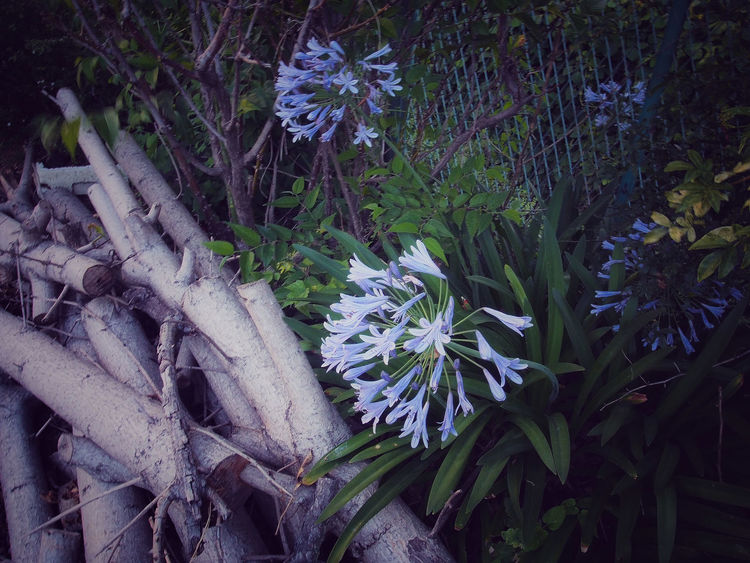 Flower Collection From My Point Of View EyeEm Best Shots - Flowers Olympus EyeEm Nature Lover Beautiful Nature Flowerporn Light And Shadow Fence アガパンサス 丸太 EyeEm Masterclass Darkness And Light Landscape_Collection Street Photography Agapanthus