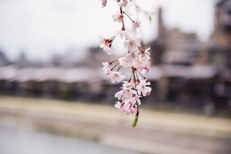 Pink Cherry blossom or sakura flower in spring season at Japan Flower Flowering Plant Fragility Plant Vulnerability  Freshness Growth Beauty In Nature Close-up Blossom Petal Springtime Focus On Foreground Day Nature Tree No People Outdoors Inflorescence Flower Head Cherry Blossom Cherry Tree Sakura Hanami