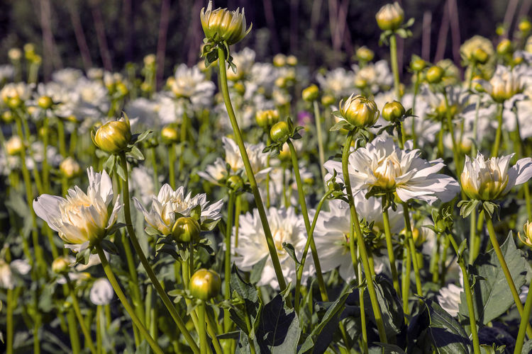 Flowering Plant Flower Plant Beauty In Nature Freshness Growth Vulnerability  Fragility White Color Close-up No People Nature Petal Yellow Day Inflorescence Flower Head Sunlight Plant Stem Outdoors Flowerbed