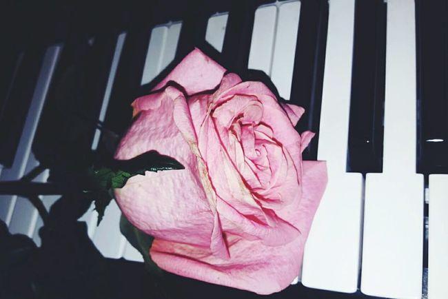 Rose - Flower Pink Color Flower Piano Key Close-up Music Beautiful Keys Keyboard Instrument Piano SignOfLove