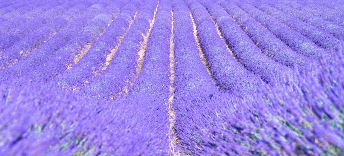 Full frame shot of lavender on field