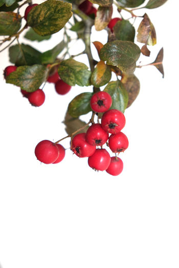 Bright Christmas Copy Space Joyful Little Apples Merry Christmas! MerryChristmas Natural Light Branch Branch With Berries Christmas Decoration Christmas Ornament Close-up Colorful Focus On Foreground Fruit Green Red Happyness Low Angle View No People Ornamental Plant Red Red Berries Twig White Background