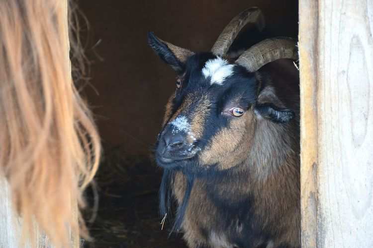 Close-up Animal Themes One Animal Animal Eye Domestic Animals Day No People Indoors  Mammal Goat Goatfarm Goat Selfie Goat Head Annimal Farm Farmanimals Interesting Personality  Portrait Close Up Annimal Thems Brown Browneyes Winter Coldcolours EyeEmNewHere