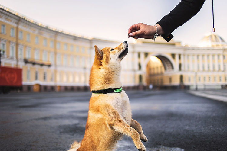 Unrecognizable owner giving snack to shiba inu sitting on wet asphalt on square outside