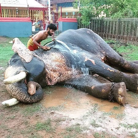 Elephant bath - It is very common in most of the Kerala temples that elephants being freshened up by their mahouts before the festival begins. Elephant Temples Festival Kerala Mahouts India Incredible_shot Incredibleindia